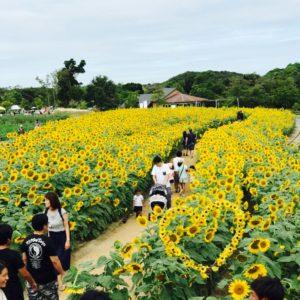 スタッフの方から素敵な写真を頂きました♪淡路島のひまわりです(^^)