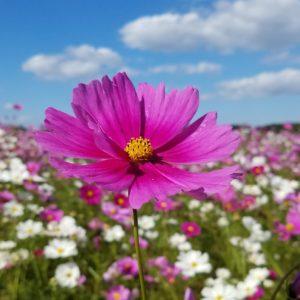 コスモス畑に行ってきました❁とってもいいお天気に恵まれてコスモスも満開で見ごろでした~♪