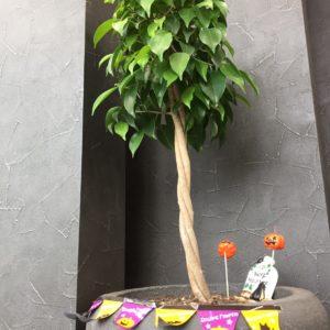 オフィス内のベンジャミンさんもハロウィン仕様にしてみました☺☽