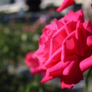 バラ園②♡ とってもきれいで癒されました♡