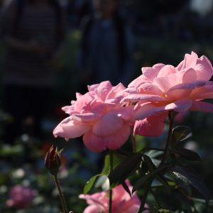 バラ園③♡ 黄色やオレンジや紫いろんな色がありましたが、どうしてもピンクに目が行きカメラロールがピンク系のバラばっかりになってしまいました✿笑
