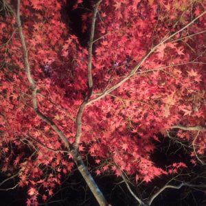 永源寺さんの紅葉ライトアップに行って来ました✨②真っ赤です!