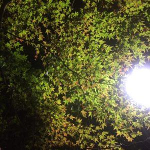 永源寺さんの紅葉ライトアップに行って来ました✨③これから見頃のもみじも。。