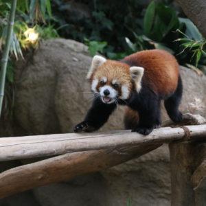 先日、神戸どうぶつ王国に行ってきました!レッサーパンダ可愛すぎました♡