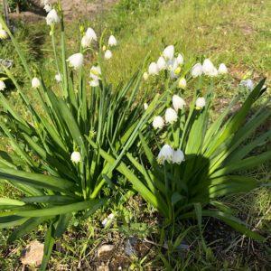スズランが咲いてました!かわいいですね♡家にも欲しいくらい可愛いです(*^^*)