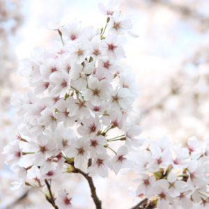 お花見してきました✿