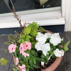 事務所玄関の寄せ植えが新しくなりました✿!真ん中のは赤いお花が咲くので楽しみです♡