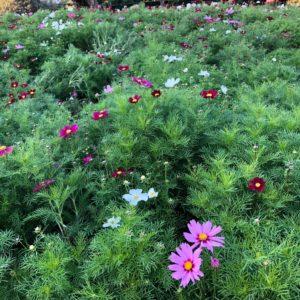 コスモスがきれいに咲いていました⚘♡
